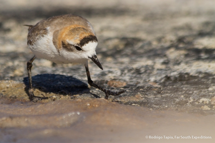 Puna Plover, Photo © Rodrigo Tapia, Far South Expeditions