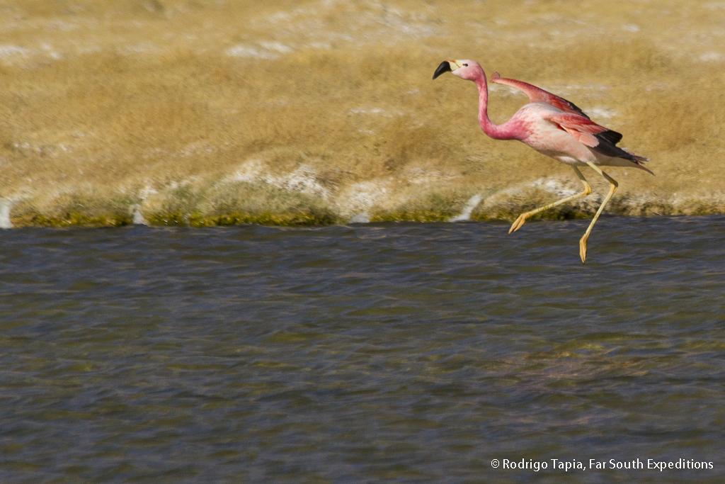 Andean Flamingo, Phoenicoparrus andinus, Antofagasta,Chile