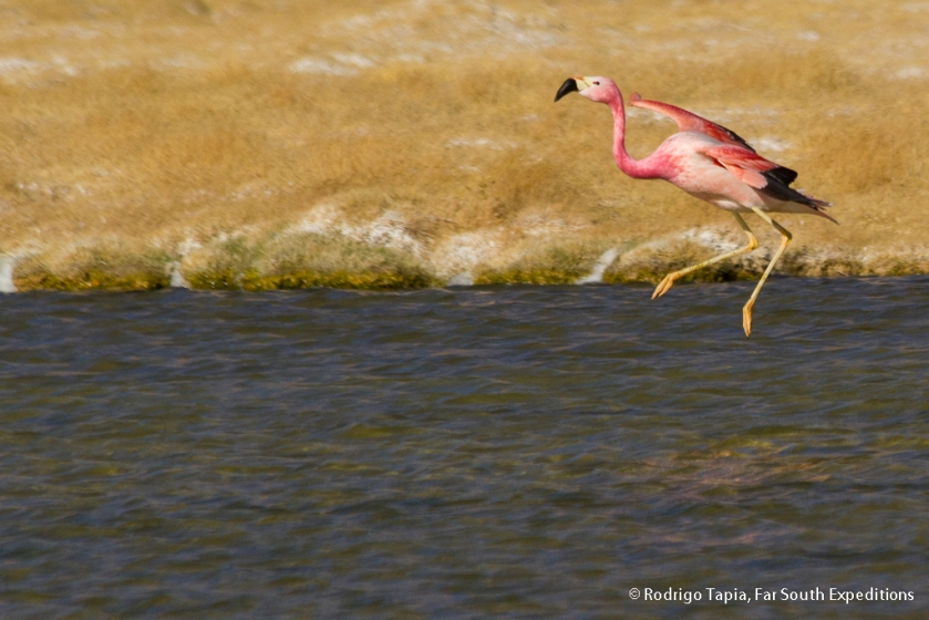 Andean Flamingo, Photo © Rodrigo Tapia, Far South Expeditions