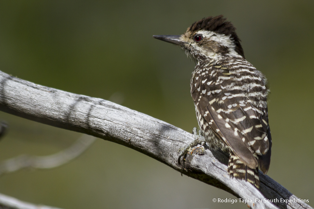 Striped Woodpecker, Veniliornis lignarius, Torres del Paine NP, Patagonia,Chile