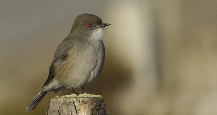 Fire-eyed Diucon, Xolmis pyrope, Magallanes, Patagonia, Chile