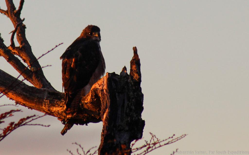 Rufous-tailed Hawk, Buteo ventralis, Patagonia,Chile