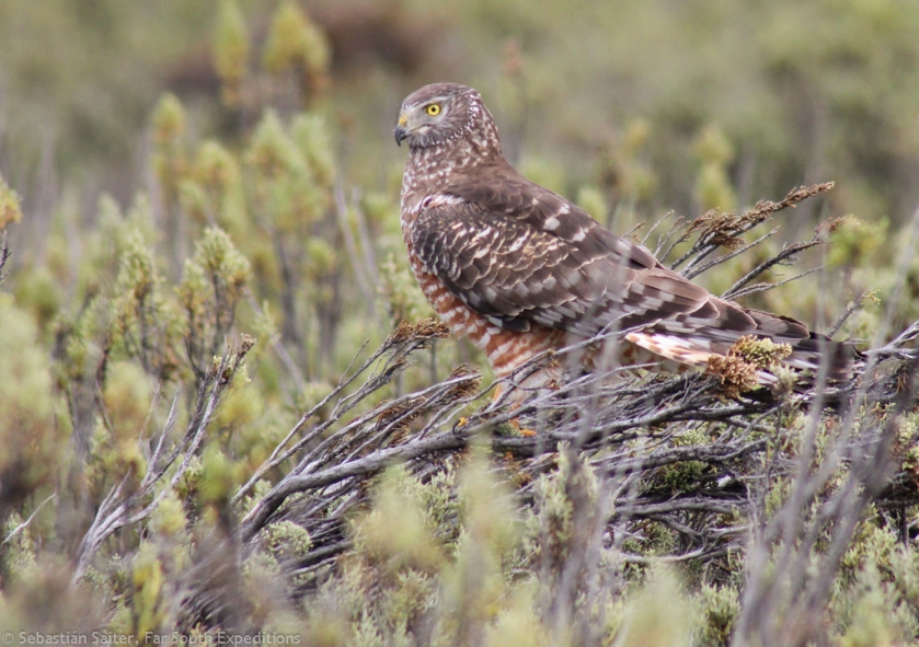 ♀ Cinereous Harrier, Photo © Sebastián Saiter, Far South Expeditions