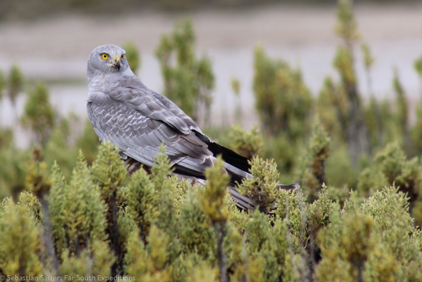 ♂ Cinereous Harrier, © Sebastián Saiter, Far South Expeditions