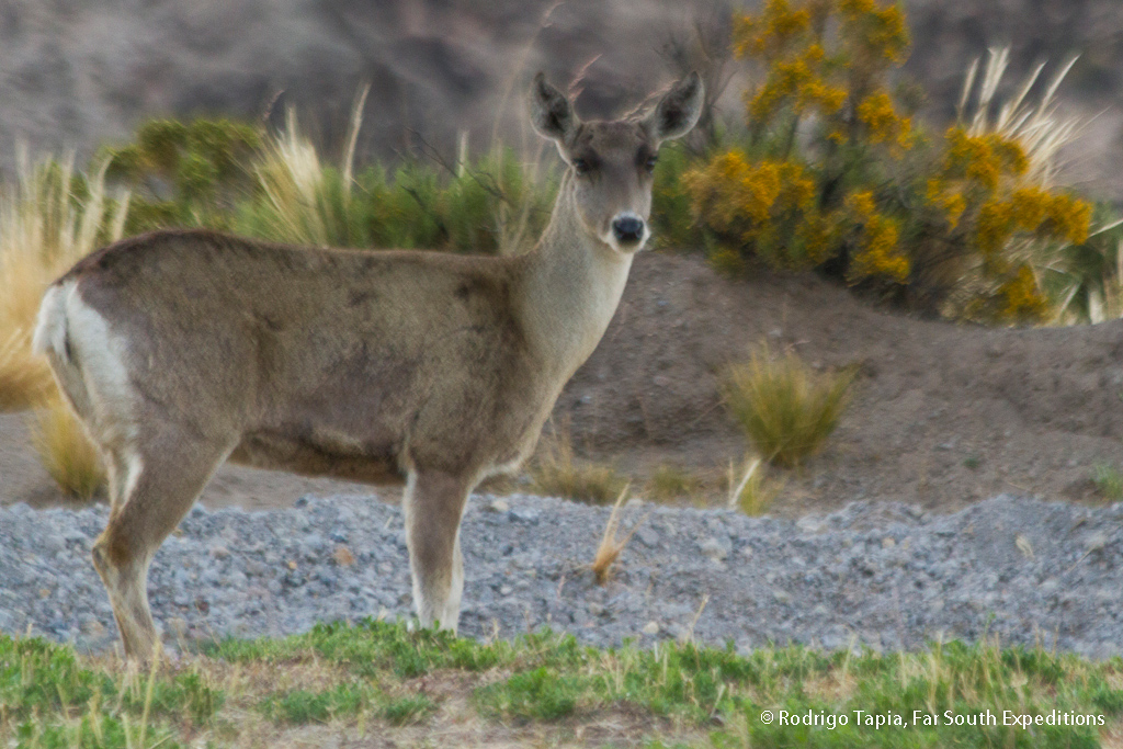 Andean Huemul Deer, Hippocamelusantisensis
