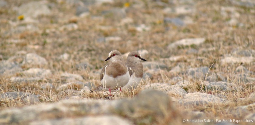 Magellanic Plover © Sebastián Saiter, Far South Expeditions