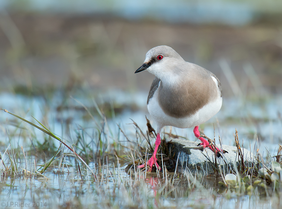 Magellanic Plover, Pluvianellus socialis, a shorebird on a class of its own