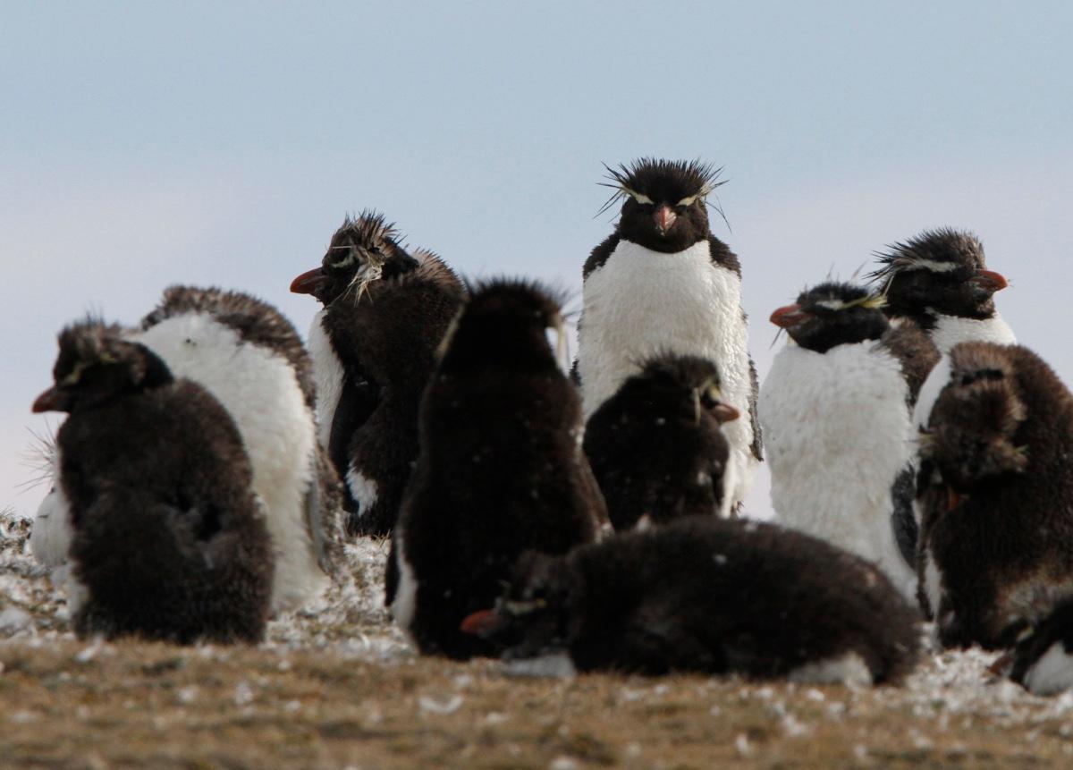 Rochkopper Penguin, Eudyptes chrysocome, Tierra del Fuego,Chile