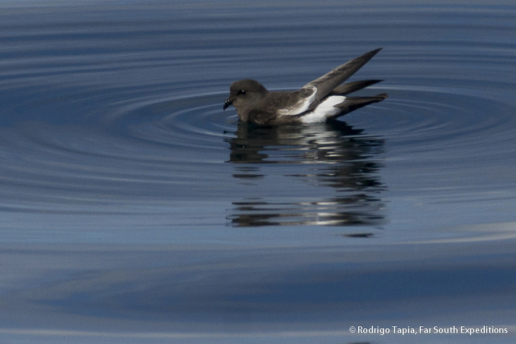 Pincoya Storm Petrel, Oceanites pincoyae, Lake District, Chile