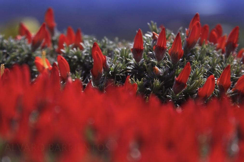 Guanaco Bush, Anarthrophyllum desideratum, Torres del paine,Chile