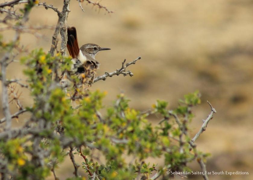 Ochetorhynchus phoenicurus_SS 3