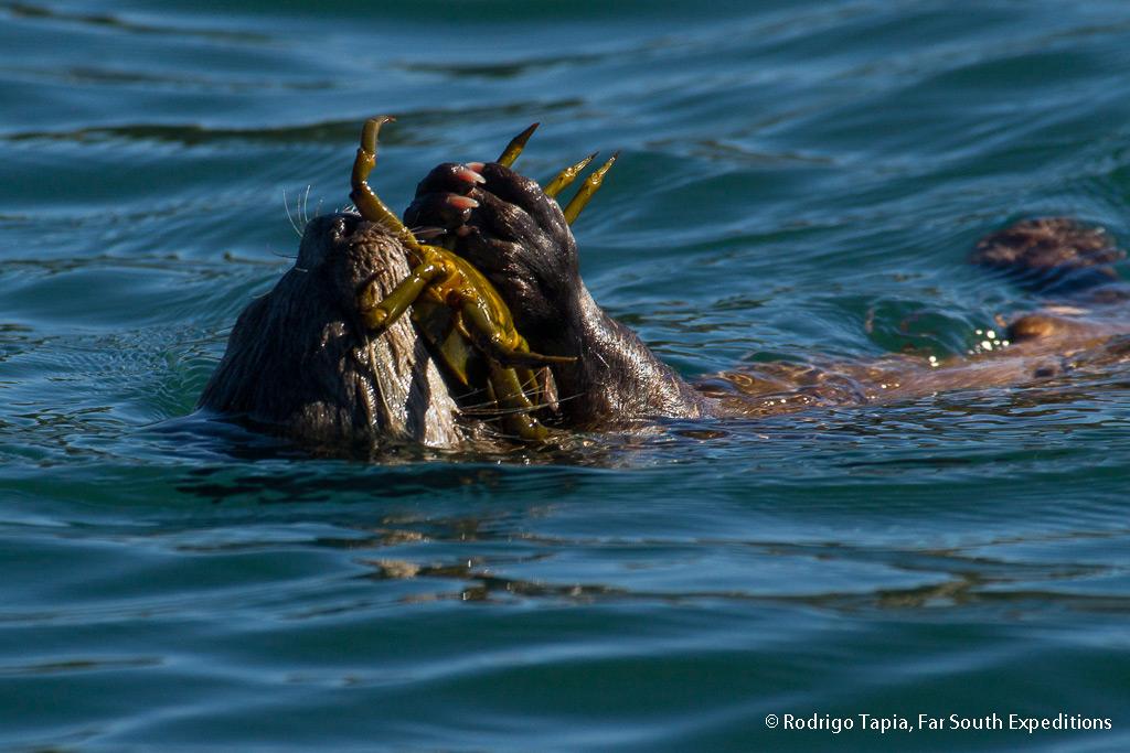 Southern Marine Otter, Lontra felina, Chiloé Island,Chile