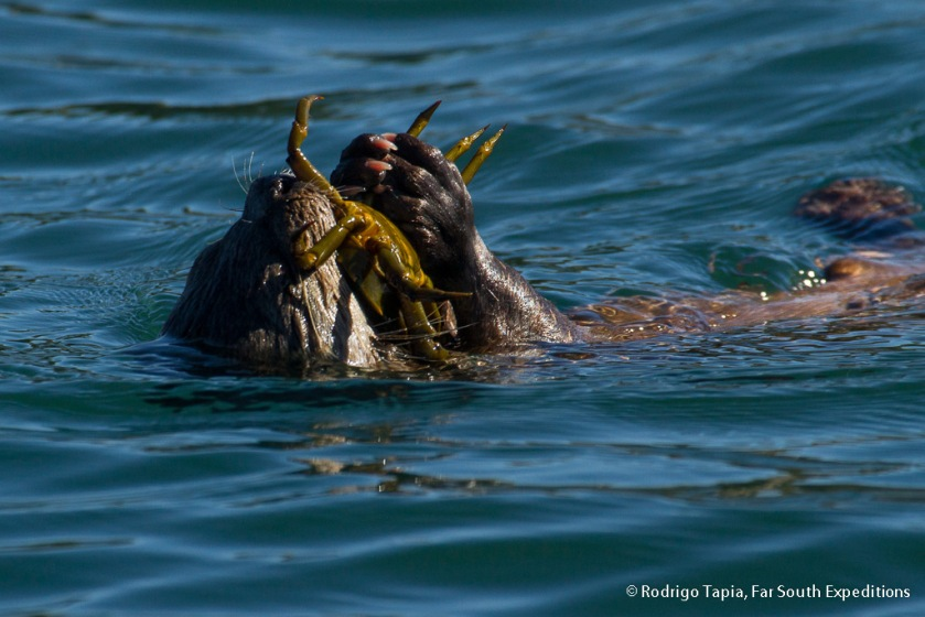 Southern-Marine-Otter