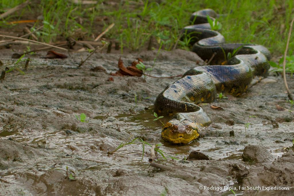 Anaconda, Eunectes murinus, PeruvianAmazon