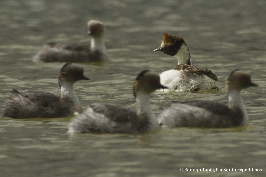 Hooded Grebe, back in Tierra del Fuego after 20years
