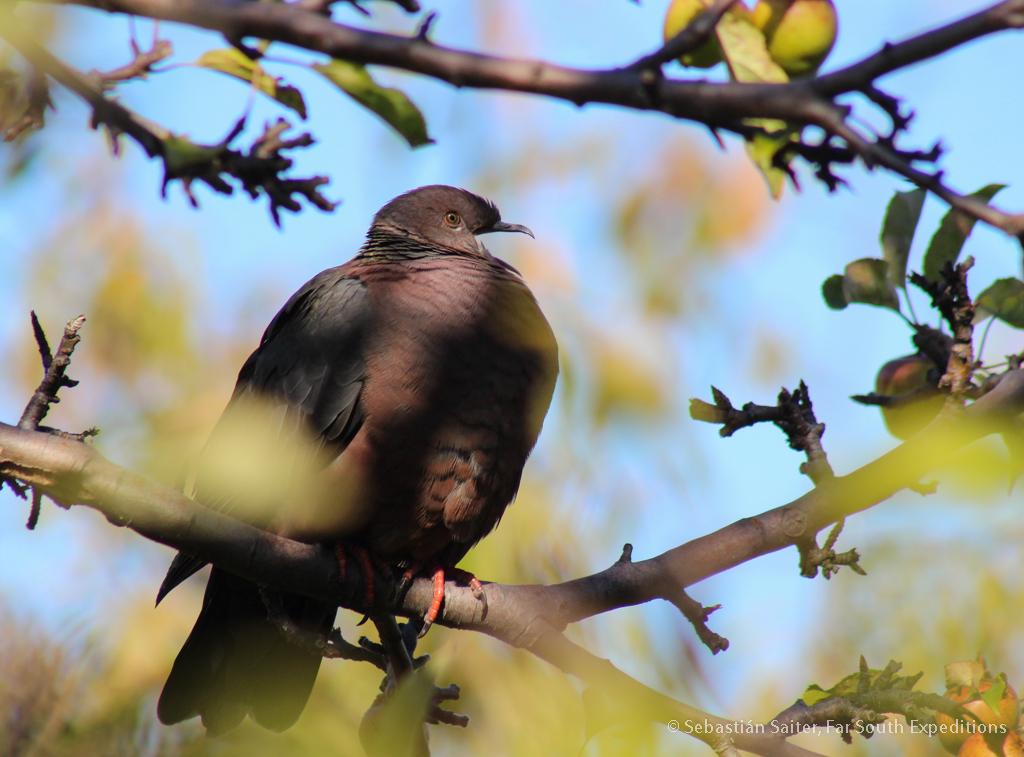 Chilean Pigeon, Patagioenasaraucana